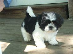 shih tzu puppies   Shih-tzu Puppies in PA