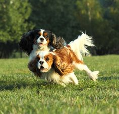 Cavalier King Charles Spaniel information including pictures, training, behavior, and care of Cavalier King Charles Spaniels and dog breed mixes. Cavalier King Spaniel, Cavalier King Charles Dog, King Charles Spaniel, Best Dog Breeds, Best Dogs, Dog Competitions, Spaniel Puppies, Corgi Puppies, Cat Facts