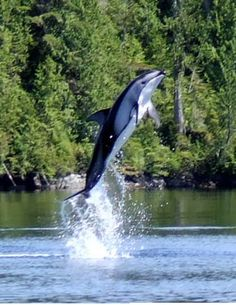 Dall's Porpoise playing in lagoon in BC Canada.