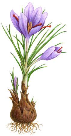 Herb-Saffron flower