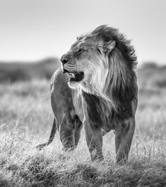 Scary Lion, Colorful Pictures, Beautiful Pictures, Cat Anatomy, Lion Pictures, Small Cat, Animals And Pets, Wild Animals, East Africa