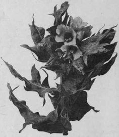Fig. 33.   Henbane (H. niger). Flowering top of a large second year's plant of biennial Henbane. Reduced.