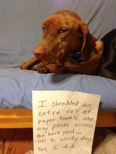 Paper Shredder- another Vizsla who likes to do the same thing as ours Oakley did a half a roll the other day inside Funny Animal Quotes, Funny Animal Pictures, Funny Animals, Cute Animals, Baby Animals, Vizsla Puppies, Cute Puppies, Cute Dogs, Vizsla Dog