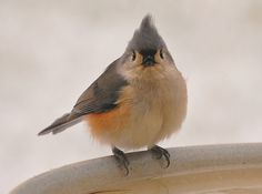 Tufted Titmouse- so cute- pic taken by my mom