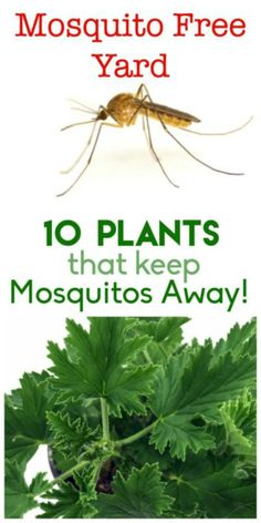 your yard and garden mosquito free! Here are 10 plants that will help keep those pesky insects away naturally.Keep your yard and garden mosquito free! Here are 10 plants that will help keep those pesky insects away naturally. Diy Gardening, Organic Gardening, Gardening Gloves, Gardening Supplies, Gardening Services, Indoor Vegetable Gardening, Florida Gardening, Container Gardening Vegetables, Hydroponic Gardening