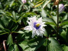 "Anemone nemorosa ""Blue Eye"""