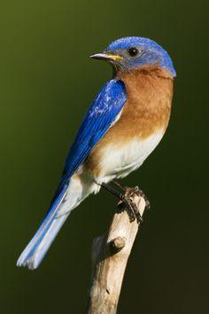 Male Bluebird.