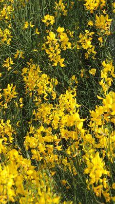 Der Spanische Ginster blüht von Ende März bis Anfang Juni, und den Jasmin-ähnlichen Duft riecht man schon von weitem.  Möchtet ihr eure Nase hinein stecken? Nur etwas Vorsicht, denn die gelben Blüten werden von den Bienen geliebt.
