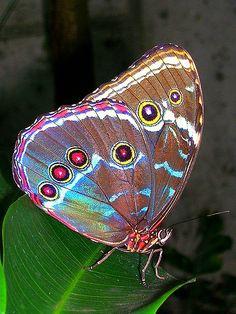 borboleta com asas de pavão - linda peacock wings II (Blue Morpho, ventral view) Blue Morpho, Morpho Azul, Butterfly Kisses, Butterfly Flowers, Butterfly Wings, Morpho Butterfly, Peacock Butterfly, Mariposa Butterfly, Beautiful Bugs