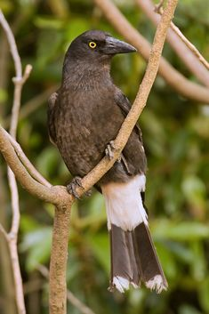 Pied Currawong, Strepera graculina, Lamington National Park, Queensland, Australia