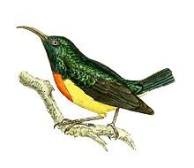 Mayotte sunbird (Cinnyris coquerellii) endemic to Mayotte and surrounding islets in the southeastern Comoros. Its natural habitat is subtropical or tropical moist lowland forests.