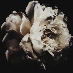 This beautiful white garden rose ashley woodson bailey f2e3b9a00b