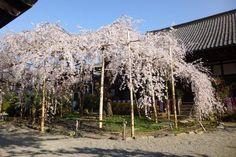 SAKURA in Kyoto JAPAN 「毘沙門しだれ」とも呼ばれる宸殿前の枝垂れ桜。