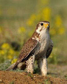 Prairie Falcon - Whatbird.com