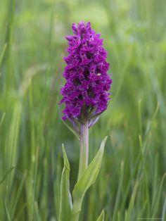 Northern Marsh Orchid (Dactylorhiza Purpurella), Craignure, Mull, Inner Hebrides, Scotland  by Steve & Ann Toon