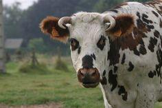 Vache normande #normandie #terroir #nature