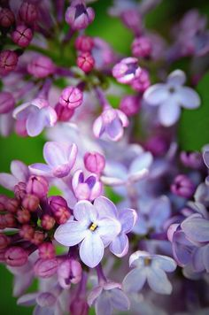 ✿Lilac (Syringa): First emotions of love ✿紫丁香: 初戀的悸動