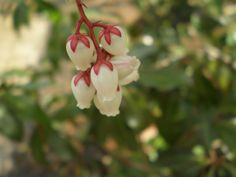 Lily of the Valley Bush; Pieris japonica