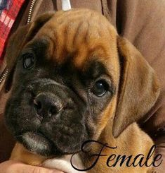 Brown Craigslist Boxer Puppies Boxer puppies for sale