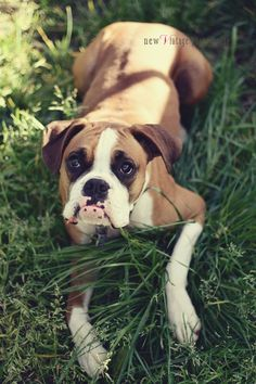 Joe the Boxer, Boxer, dog, newVintage photography