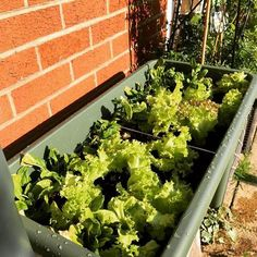 #myelho trough of #lettuce #saladgreens - we are starting to pick the leaves already #deeatthecarlton | Content shared via elho Inspiration Gallery