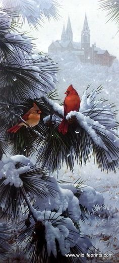 """A male and female cardinal take a rest from flight on top of a snowy pine tree in Jerry Gadamus' Scarlet Sanctuary. Image Size 14"""" x 21"""" Signed and Numbered Comes with Certificate                                                                                                                                                                                 More"""