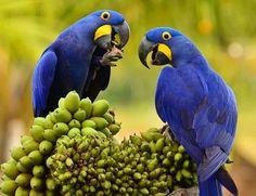 Araras azuis - Pantanal matogrossense