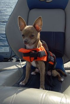 """My chihuahua says """"How do I look in my Life Jacket?"""" #Chihuahua"""