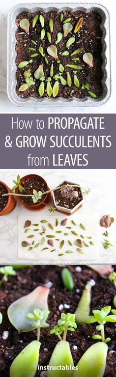 How to Propagate & Grow Succulents From Leaves  #gardening