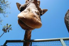 Is this my good side?  Giraffe at Melbourne Zoo