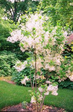 Fringetree » Grow Native!