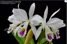 Cattleya jenmanii f. amoena