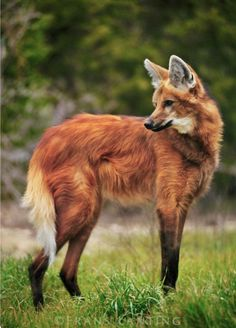 "The maned wolf (Chrysocyon brachyurus) is the largest canid of South America. While Its markings resemble those of foxes, it is neither a fox nor a wolf, but the only species in the genus Chrysocyon (meaning ""golden dog""). Unique Animals, Nature Animals, Animals And Pets, Cute Animals, Wildlife Nature, Beautiful Creatures, Animals Beautiful, Frans Lanting, Maned Wolf"