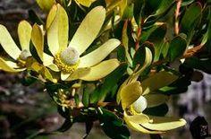 Leucadendron stroboline