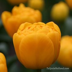 golden color tulips