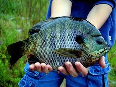 Pond Bluegill
