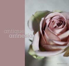 A Rose to remember!   amnesia-rose-sania-pell