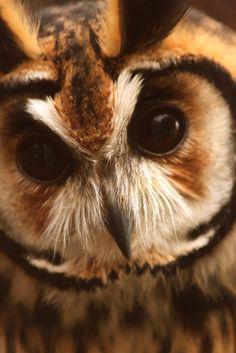 nature-madness:    Owl Portrait by Jean-Simon B