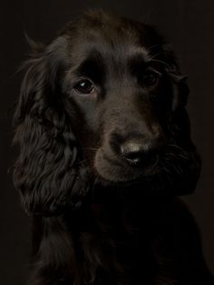 "Click visit site and Check out Cool ""English Cocker Spaniel"" T-shirts. This website is superb. Tip: You can search ""your name"" or ""your favorite shirts"" at search bar on the top."