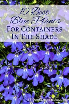 10 Best Blue Plants For Containers In The Shade This list of blue container plants for the shade is the BEST! I have so much shade in my yard that I never knew what to put in my containers. Now I know what to plant! Shade Garden Plants, Blue Plants, Tall Plants, Summer Plants, Flowering Plants, Garden Shrubs, Plants Indoor, Gardening For Beginners, Gardening Tips