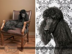 LOVE Standard Poodles!  This is my friend Sarah's dog.  She did a photo shoot.
