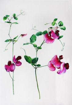 Pinturas Florales - Wild guisantes de olor - Acuarela