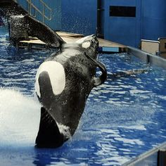 Cute Whales, Orcas, Killer Whales, Sea World, Dolphins, Fandom, Gallery, Art, Animals