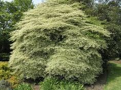 Smaller than 'Variegata', it maxes out at 20 feet. Pagoda Dogwood, Shrubs, Country Roads, Plants, Image, Gardening, Lawn And Garden, Shrub, Plant