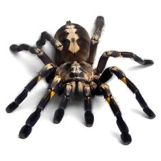 A fearful 3D tarantula tattoo design. Very realistic piece for brave men and guys. Style: Realistic. Tags: Best, 3D 3d Tattoos For Men, Spider Drawing, Masculine Tattoos, Spider Queen, 3d Drawings, Pencil Drawings, Tattoo Designs Men, Cool Cats, Spiders