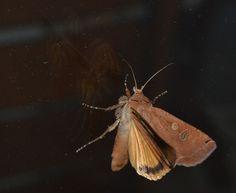 https://flic.kr/p/HcBgNn | Brown orange moth medium size | Brown orange moth medium size