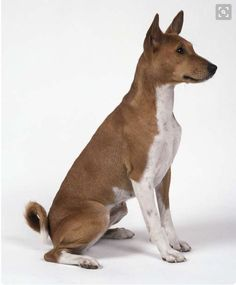Red and white Basenji. Basenji Dogs, Pitbulls, Hunting Dogs, Dogs Of The World, Dog Breeds, Dogs And Puppies, Red And White, Dog Cat, Terrier