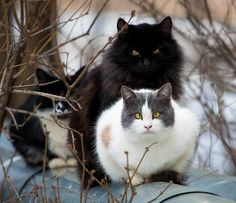 Norwegian Forest Cats wish you good morning... (via ksvser)