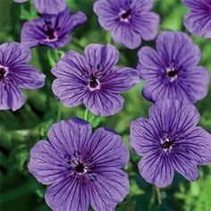 Geranium Daily Purple®