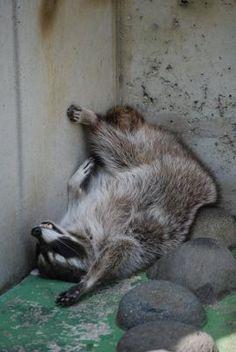GEEEEEZ, U THINK being COMFY....is ALL that MaTTers here!!!  ***funny sleeping raccoon